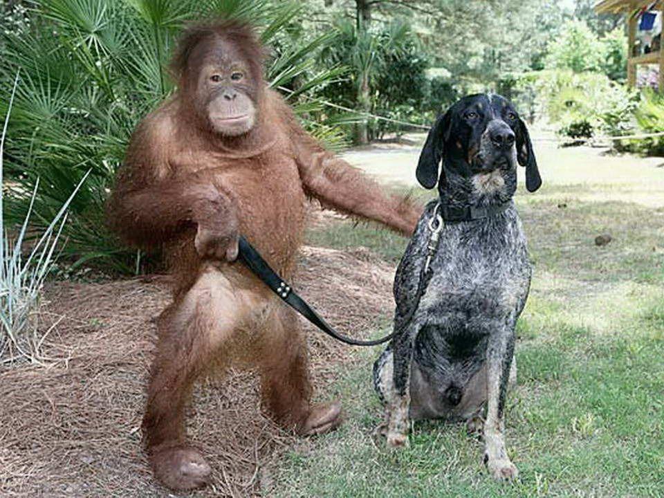 Orphelin, cet orang-outan de trois ans était tellement déprimé quil refusait toute nourriture et tout traitement. Les vétérinaires pressentaient quil