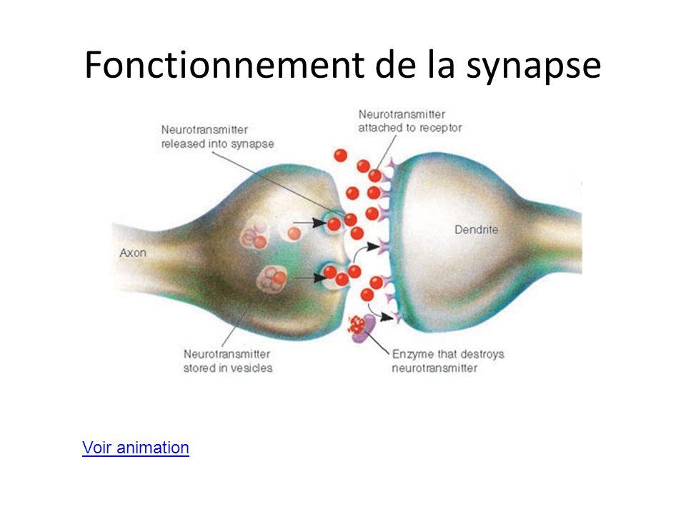 Fonctionnement de la synapse Voir animation
