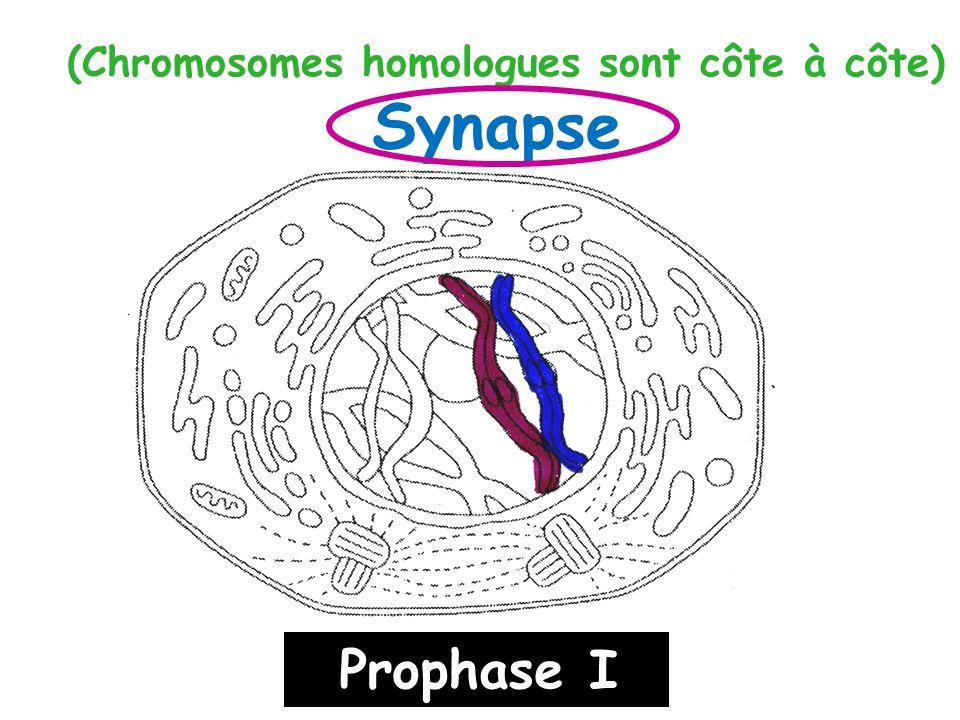 (Chromosomes homologues sont côte à côte) Synapse Prophase I