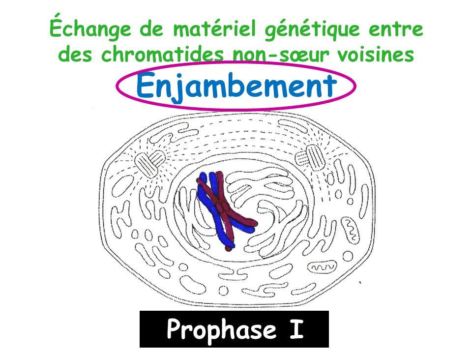 Échange de matériel génétique entre des chromatides non-sœur voisines Enjambement Prophase I