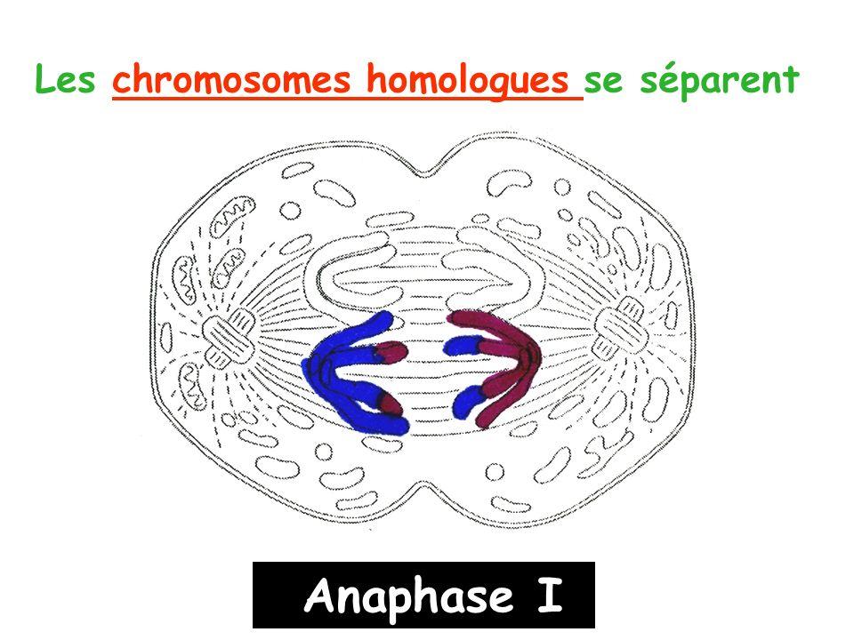 Les chromosomes homologues se séparent Anaphase I