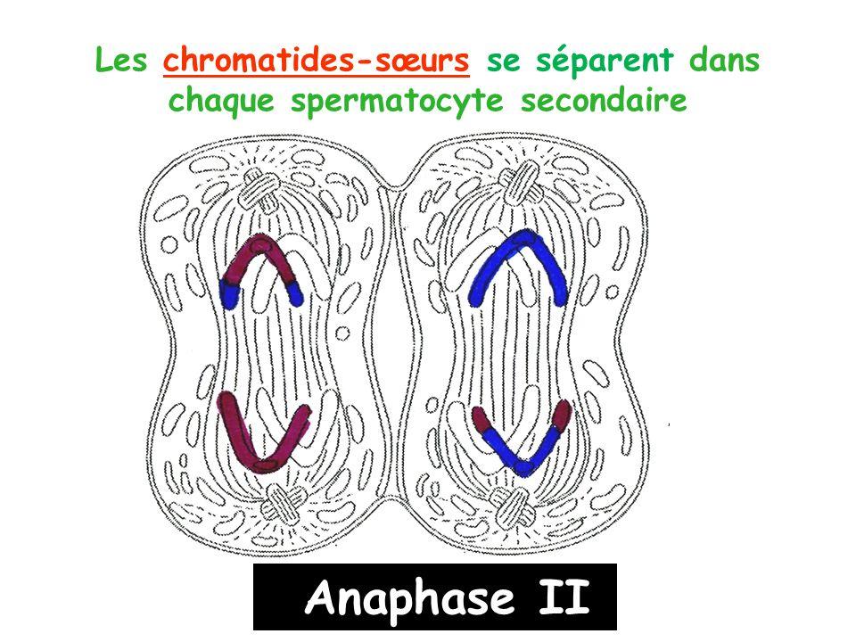Les chromatides-sœurs se séparent dans chaque spermatocyte secondaire Anaphase II
