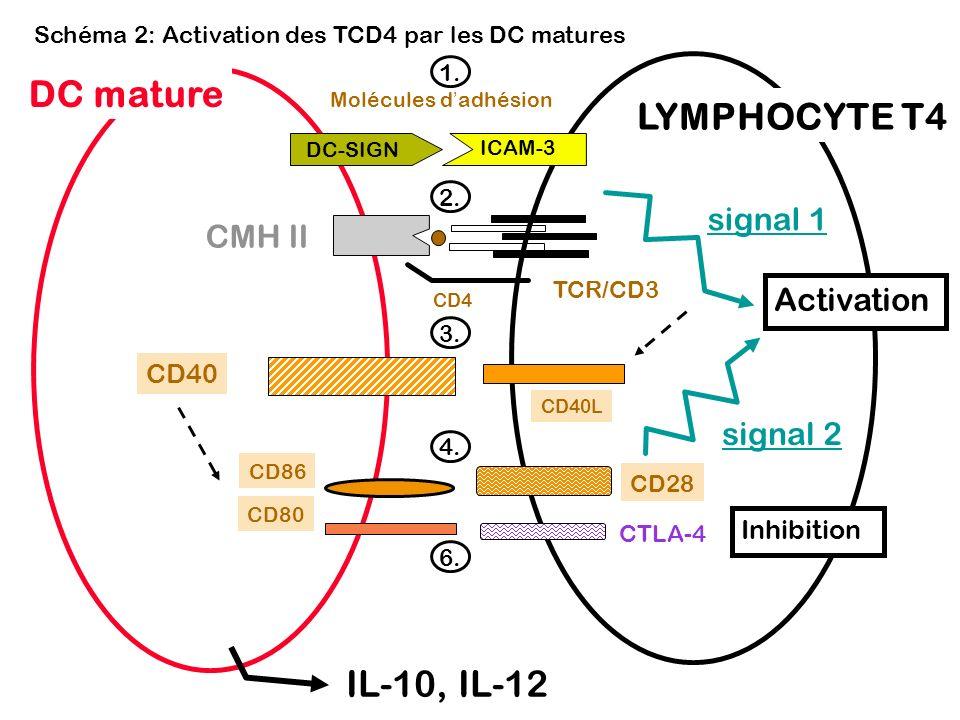 1. Schéma 2: Activation des TCD4 par les DC matures Molécules dadhésion Activation LYMPHOCYTE T4 CD4 CMH II DC mature signal 1 signal 2 TCR/CD3 CD40L