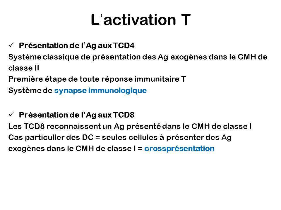 Lactivation T Présentation de lAg aux TCD4 Système classique de présentation des Ag exogènes dans le CMH de classe II Première étape de toute réponse