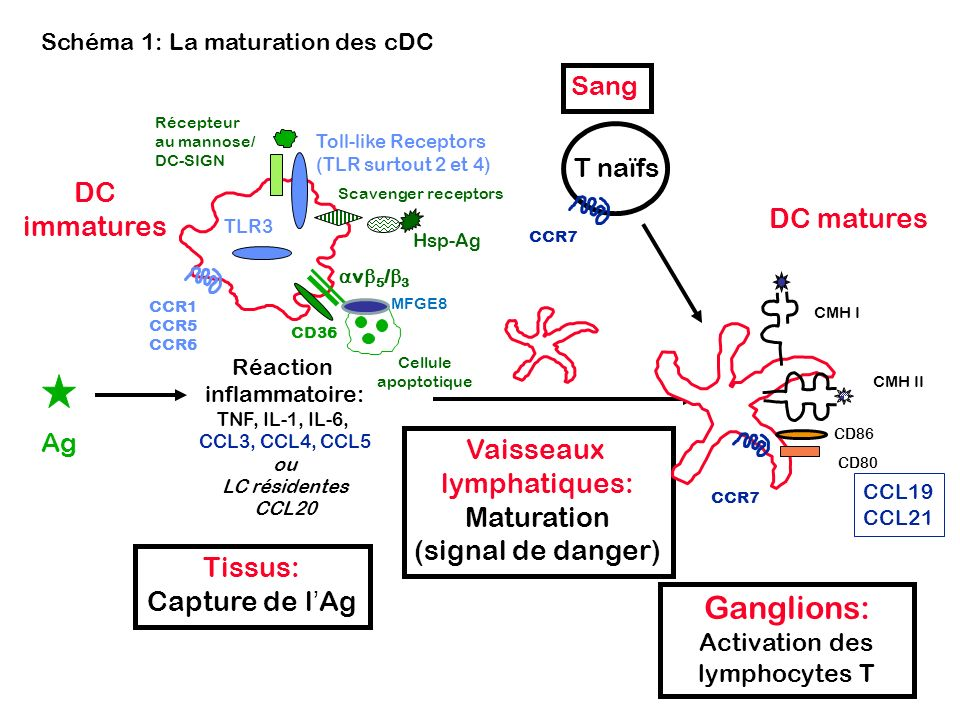Schéma 1: La maturation des cDC Tissus: Capture de lAg Ag Réaction inflammatoire: TNF, IL-1, IL-6, CCL3, CCL4, CCL5 ou LC résidentes CCL20 DC immature