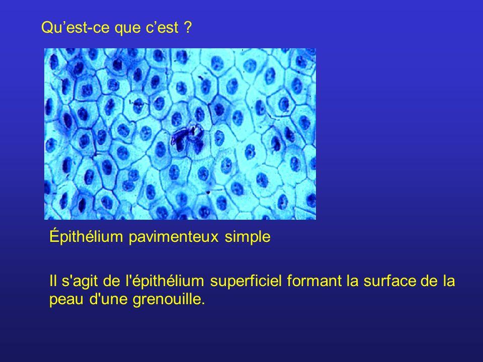 Quest-ce que cest ? Épithélium pavimenteux simple Il s'agit de l'épithélium superficiel formant la surface de la peau d'une grenouille.
