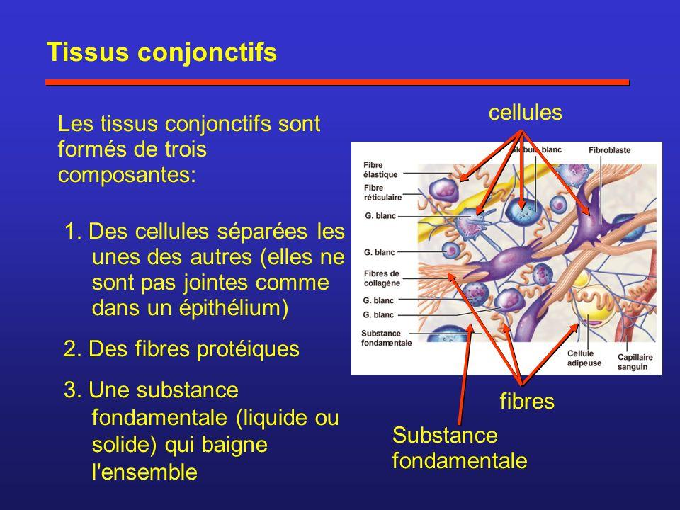Tissus conjonctifs Les tissus conjonctifs sont formés de trois composantes: 1. Des cellules séparées les unes des autres (elles ne sont pas jointes co