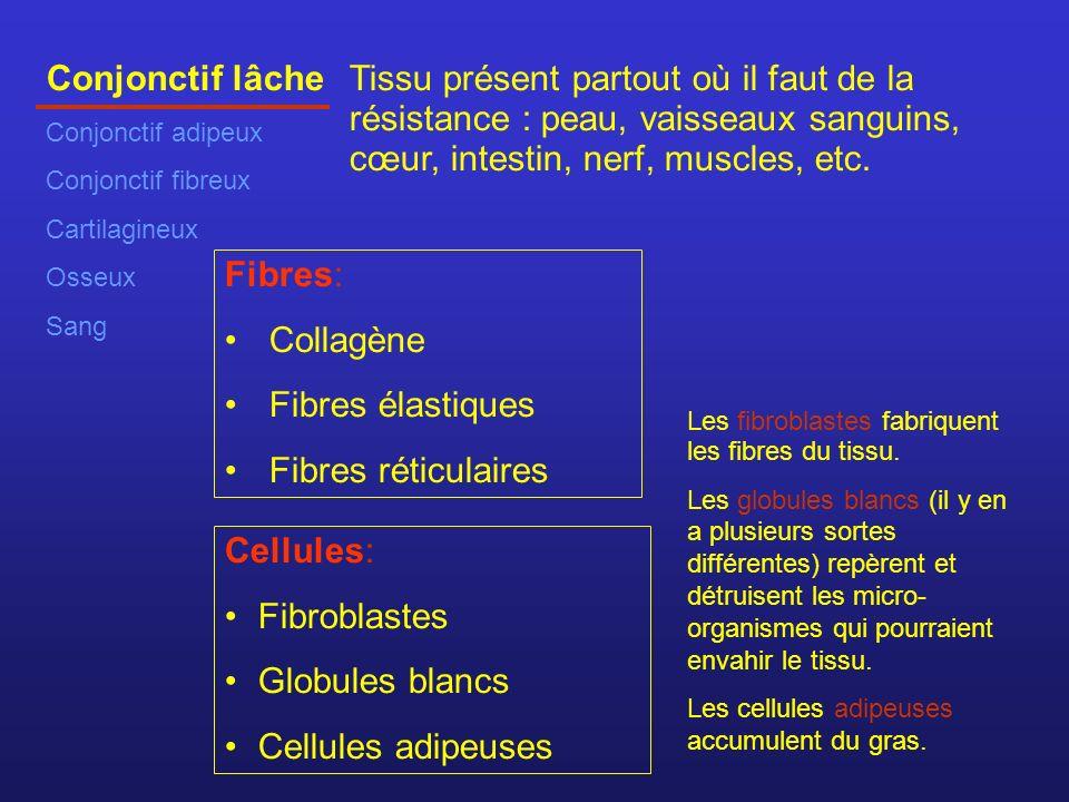 Conjonctif lâche Conjonctif adipeux Conjonctif fibreux Cartilagineux Osseux Sang Tissu présent partout où il faut de la résistance : peau, vaisseaux sanguins, cœur, intestin, nerf, muscles, etc.