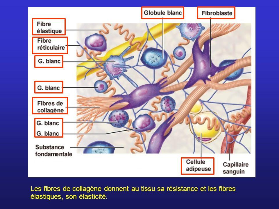 Les fibres de collagène donnent au tissu sa résistance et les fibres élastiques, son élasticité.