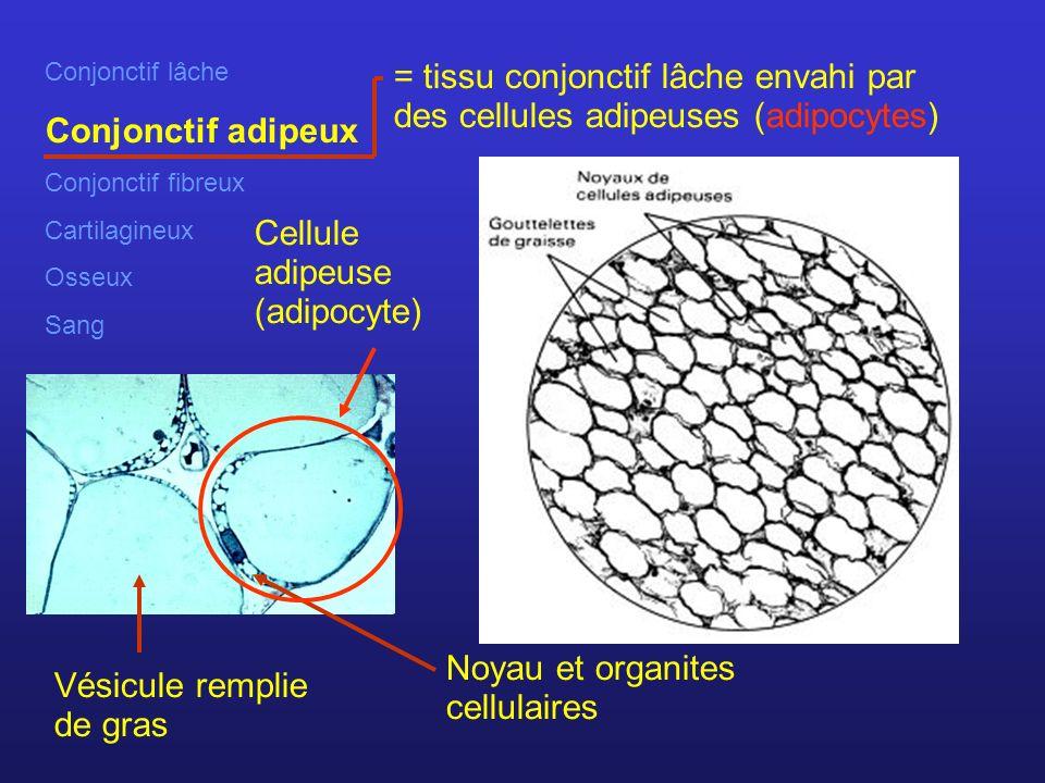 Conjonctif lâche Conjonctif adipeux Conjonctif fibreux Cartilagineux Osseux Sang = tissu conjonctif lâche envahi par des cellules adipeuses (adipocytes) Noyau et organites cellulaires Vésicule remplie de gras Cellule adipeuse (adipocyte)