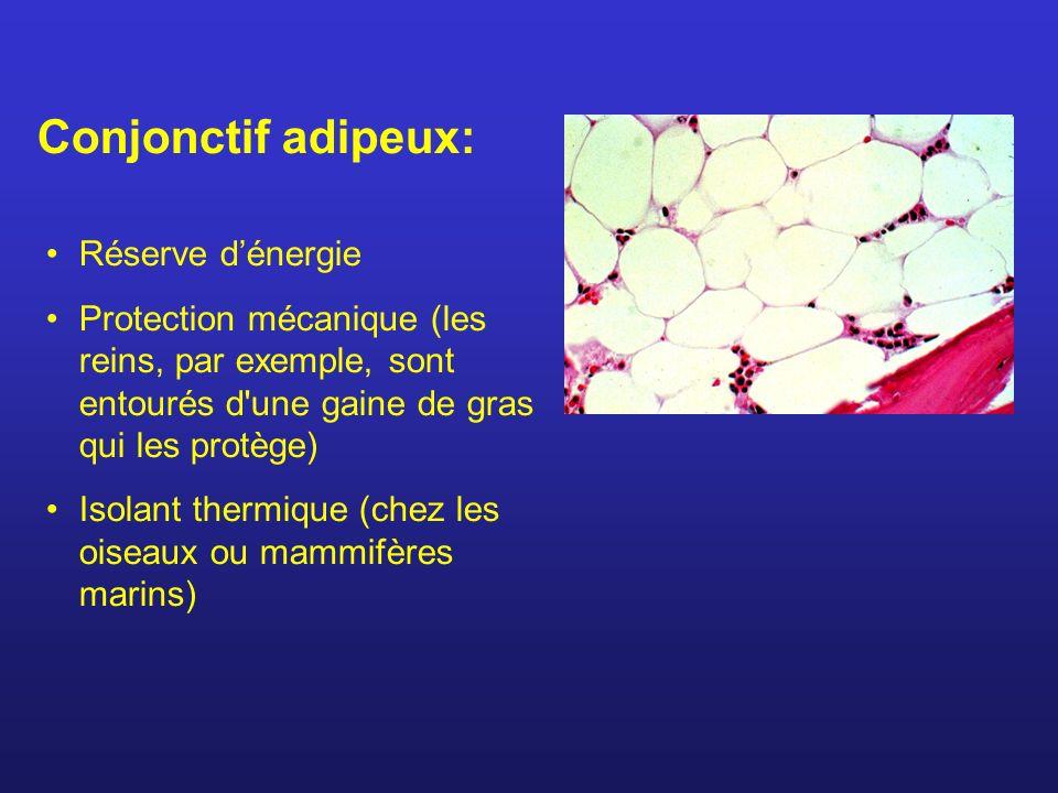 Réserve dénergie Protection mécanique (les reins, par exemple, sont entourés d une gaine de gras qui les protège) Isolant thermique (chez les oiseaux ou mammifères marins) Conjonctif adipeux:
