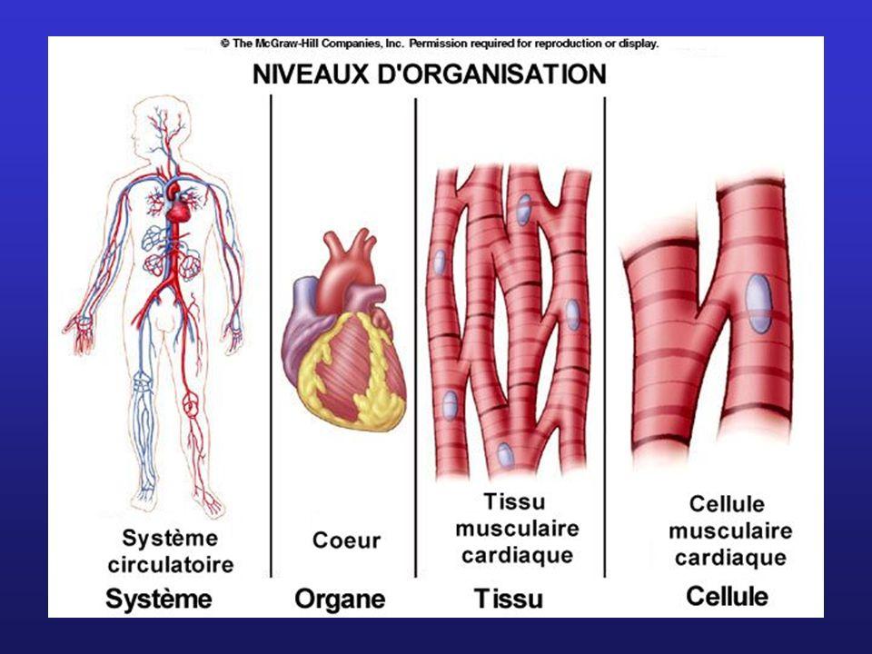 Les cellules contiennent des faisceaux de myofibrilles.
