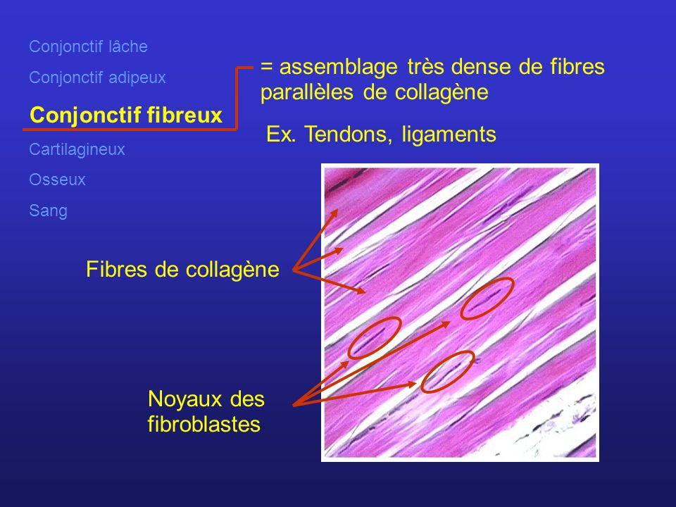 Conjonctif lâche Conjonctif adipeux Conjonctif fibreux Cartilagineux Osseux Sang = assemblage très dense de fibres parallèles de collagène Ex.