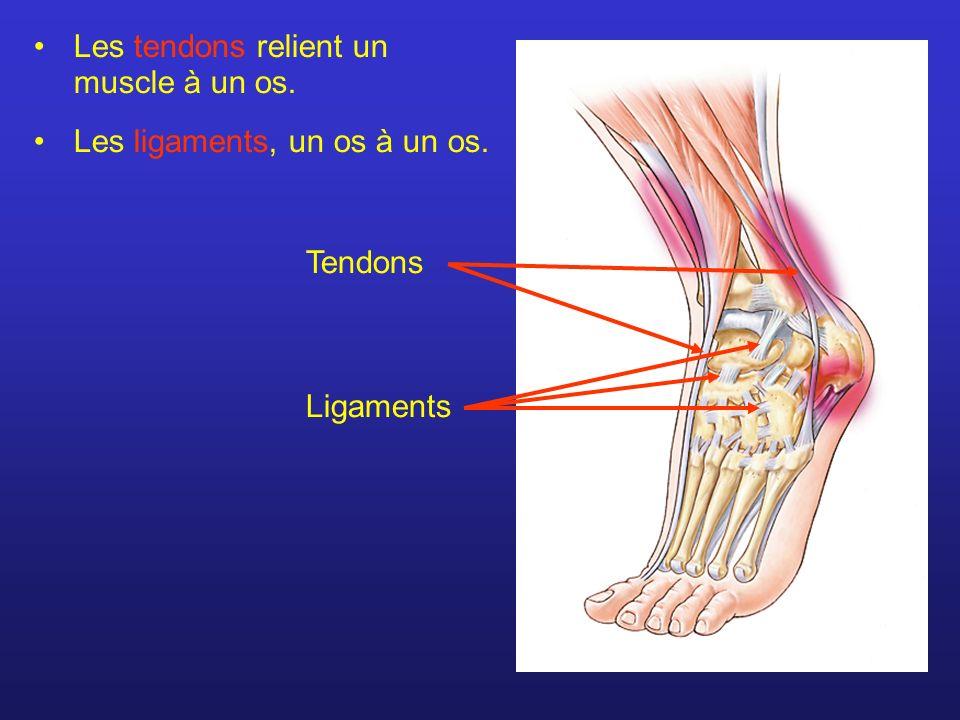 Les tendons relient un muscle à un os. Les ligaments, un os à un os. Tendons Ligaments