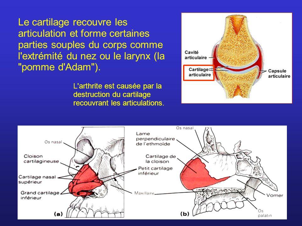 Le cartilage recouvre les articulation et forme certaines parties souples du corps comme l'extrémité du nez ou le larynx (la