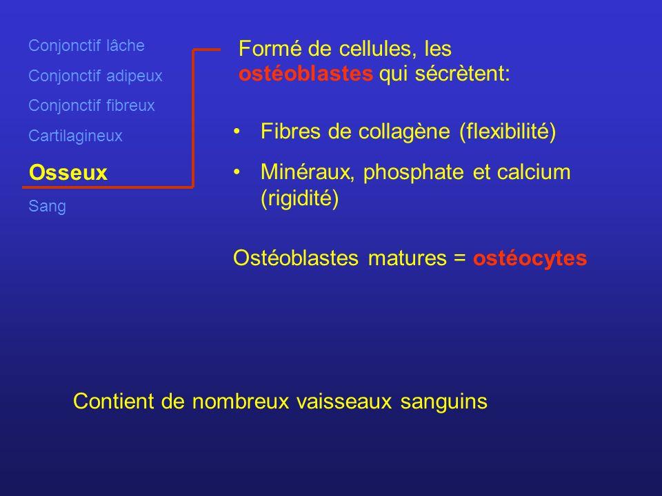 Conjonctif lâche Conjonctif adipeux Conjonctif fibreux Cartilagineux Osseux Sang Formé de cellules, les ostéoblastes qui sécrètent: Fibres de collagène (flexibilité) Minéraux, phosphate et calcium (rigidité) Contient de nombreux vaisseaux sanguins Ostéoblastes matures = ostéocytes