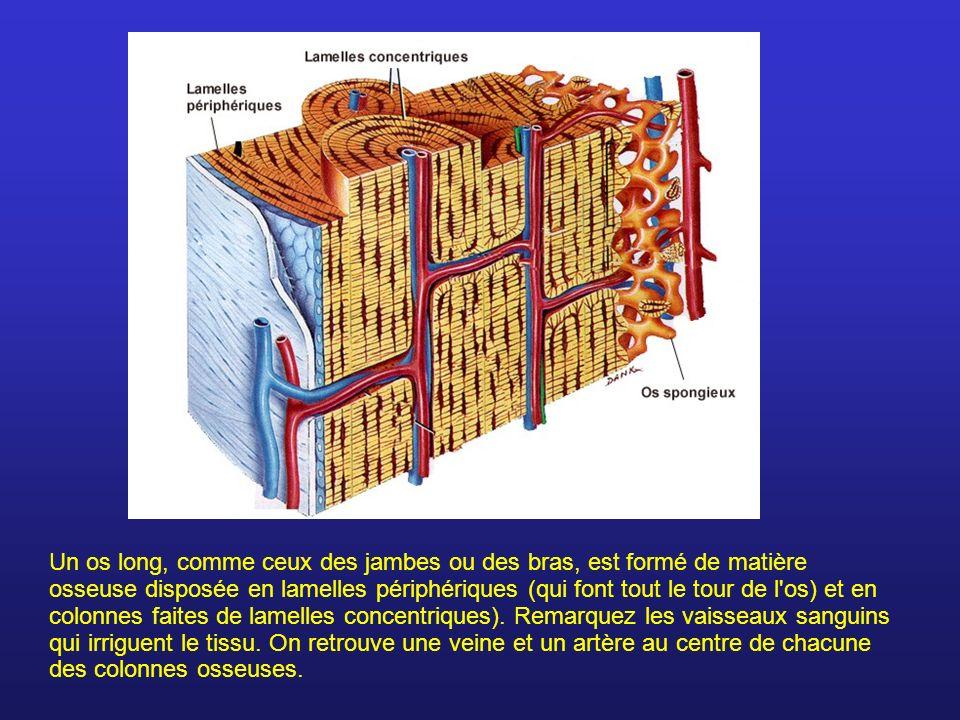 Un os long, comme ceux des jambes ou des bras, est formé de matière osseuse disposée en lamelles périphériques (qui font tout le tour de l'os) et en c