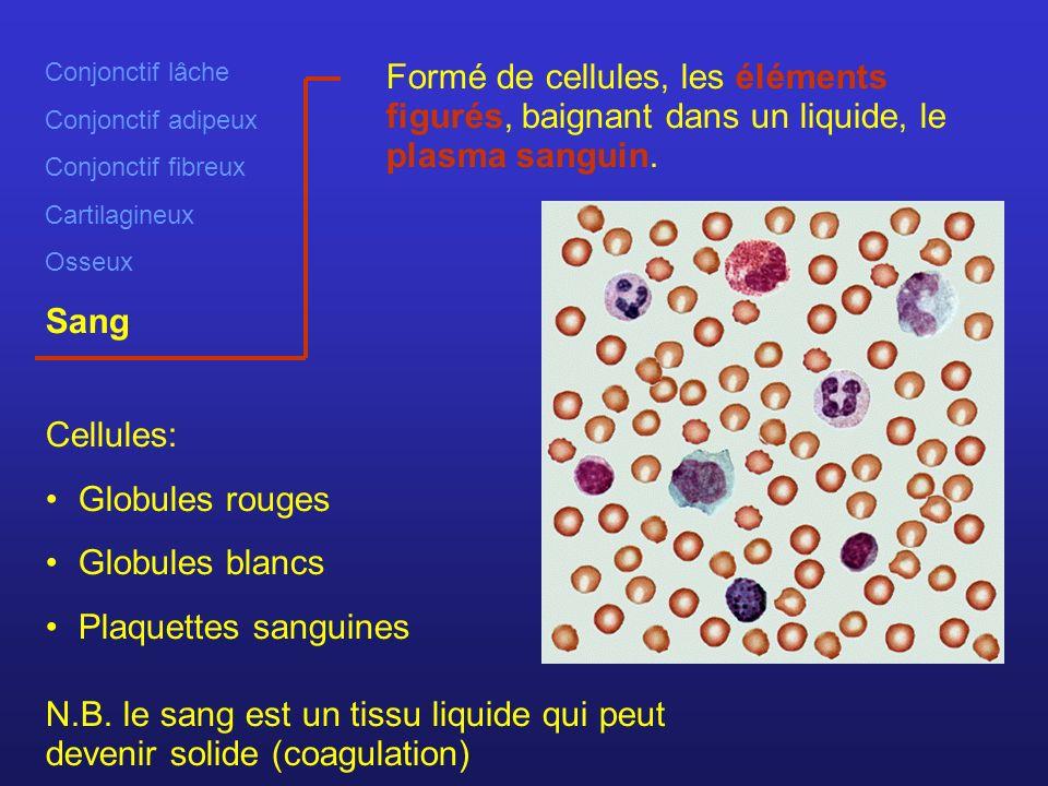 Conjonctif lâche Conjonctif adipeux Conjonctif fibreux Cartilagineux Osseux Sang Formé de cellules, les éléments figurés, baignant dans un liquide, le plasma sanguin.