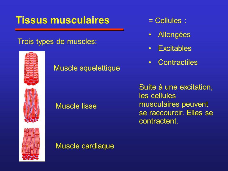 Tissus musculaires = Cellules : Allongées Excitables Contractiles Trois types de muscles: Muscle squelettique Muscle lisse Muscle cardiaque Suite à une excitation, les cellules musculaires peuvent se raccourcir.