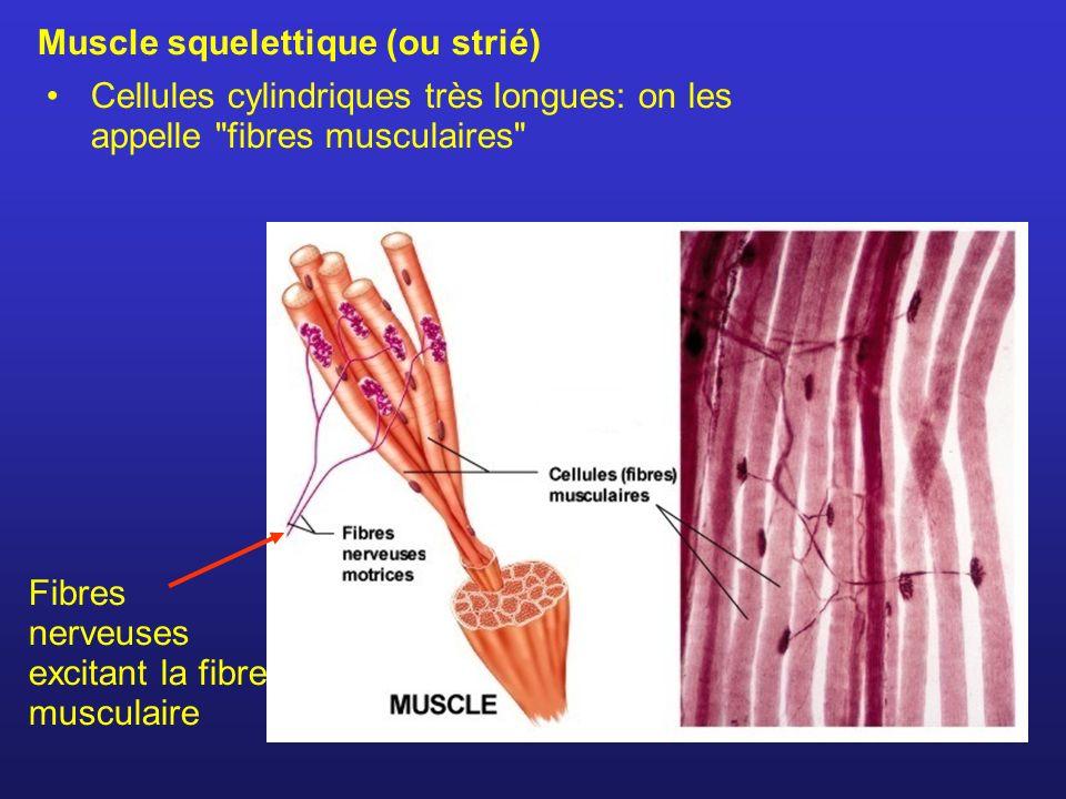 Muscle squelettique (ou strié) Cellules cylindriques très longues: on les appelle fibres musculaires Fibres nerveuses excitant la fibre musculaire