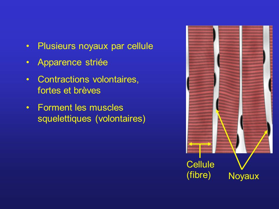 Apparence striée Contractions volontaires, fortes et brèves Forment les muscles squelettiques (volontaires) Plusieurs noyaux par cellule Cellule (fibre) Noyaux