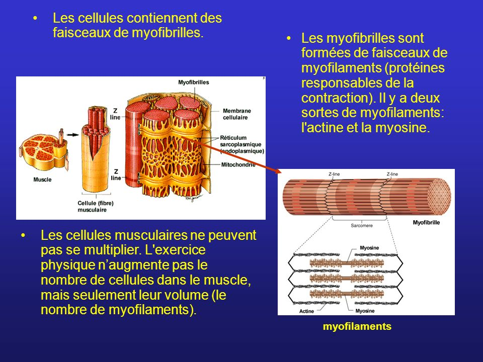 Les cellules contiennent des faisceaux de myofibrilles. Les cellules musculaires ne peuvent pas se multiplier. L'exercice physique naugmente pas le no
