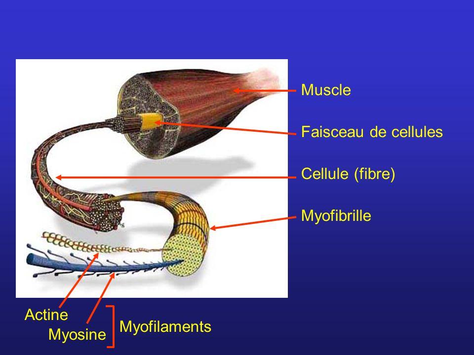 Muscle Cellule (fibre) Myofibrille Faisceau de cellules Myofilaments Actine Myosine