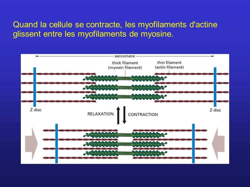 Quand la cellule se contracte, les myofilaments d'actine glissent entre les myofilaments de myosine.