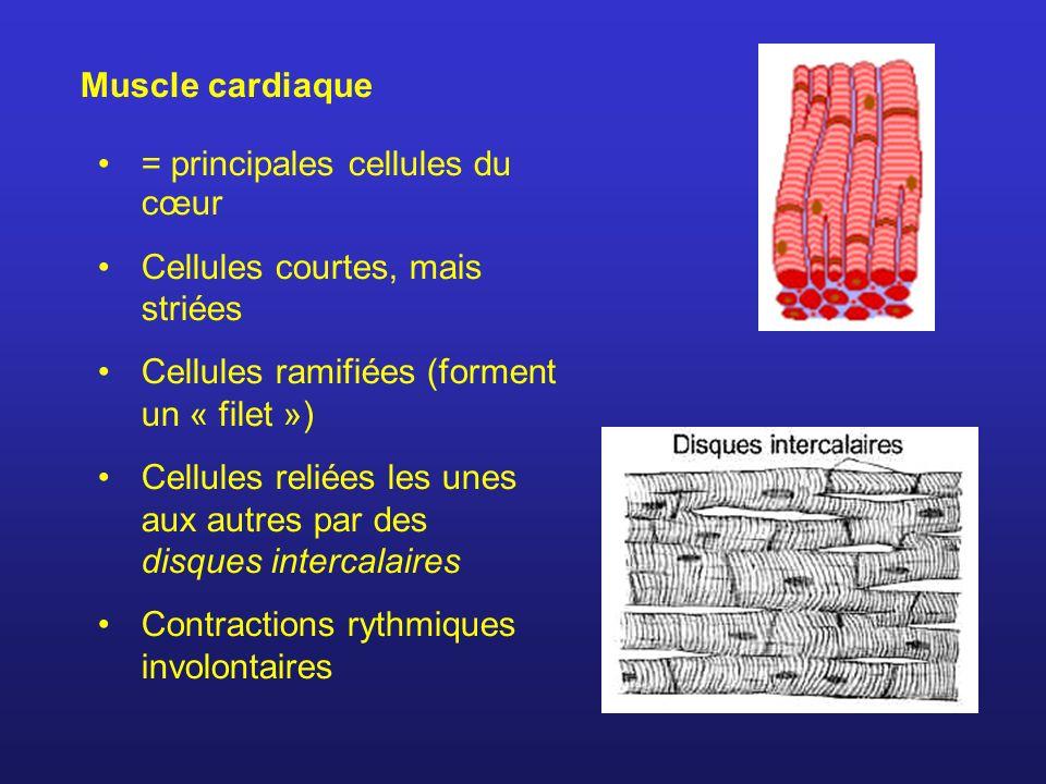 Muscle cardiaque = principales cellules du cœur Cellules courtes, mais striées Cellules ramifiées (forment un « filet ») Cellules reliées les unes aux autres par des disques intercalaires Contractions rythmiques involontaires
