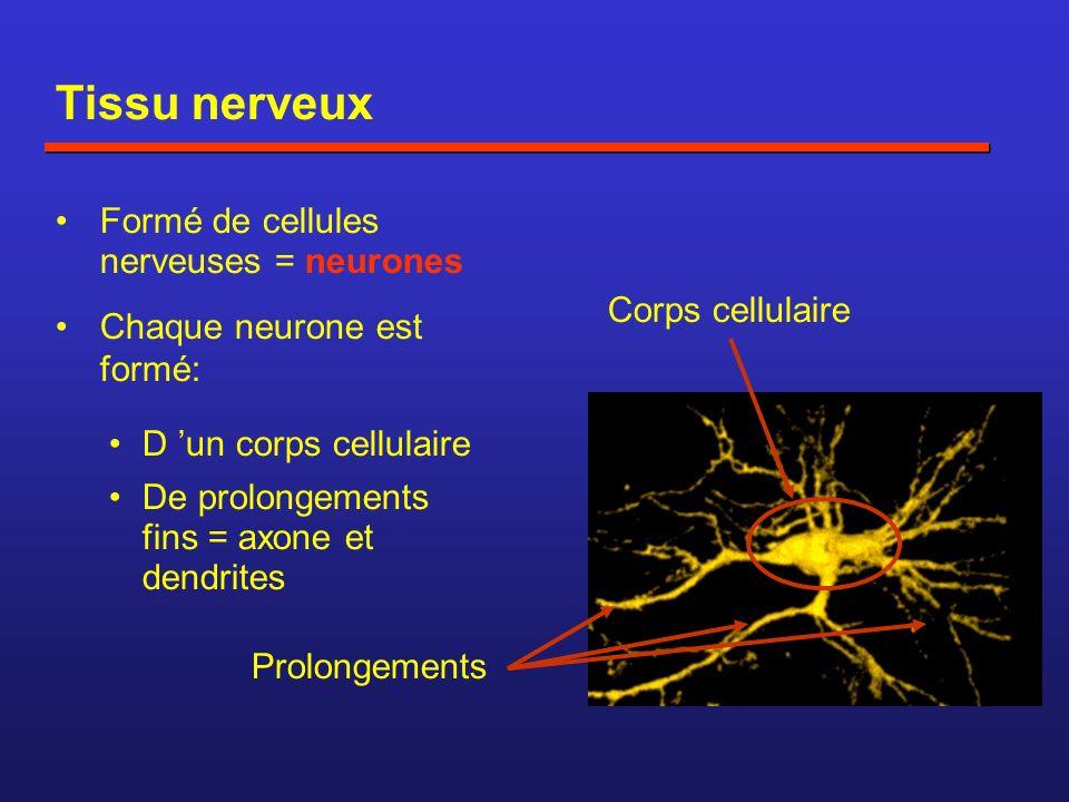 Tissu nerveux Formé de cellules nerveuses = neurones Chaque neurone est formé: Corps cellulaire Prolongements D un corps cellulaire De prolongements fins = axone et dendrites