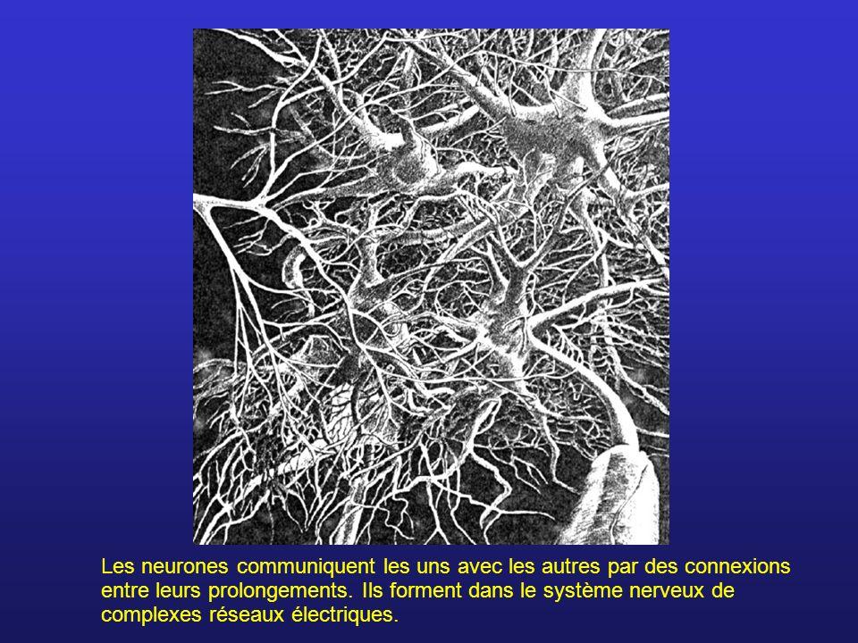 Les neurones communiquent les uns avec les autres par des connexions entre leurs prolongements. Ils forment dans le système nerveux de complexes résea