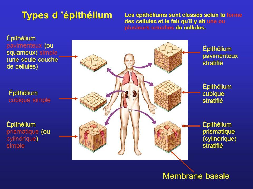 Épithélium pavimenteux (ou squameux) simple (une seule couche de cellules) Épithélium cubique simple Épithélium prismatique (ou cylindrique) simple Épithélium cubique stratifié Épithélium prismatique (cylindrique) stratifié Épithélium pavimenteux stratifié Types d épithélium Membrane basale Les épithéliums sont classés selon la forme des cellules et le fait qu il y ait une ou plusieurs couches de cellules.