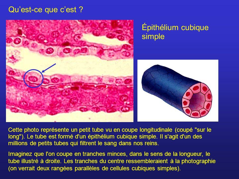 Quest-ce que cest ? Épithélium cubique simple Cette photo représente un petit tube vu en coupe longitudinale (coupé