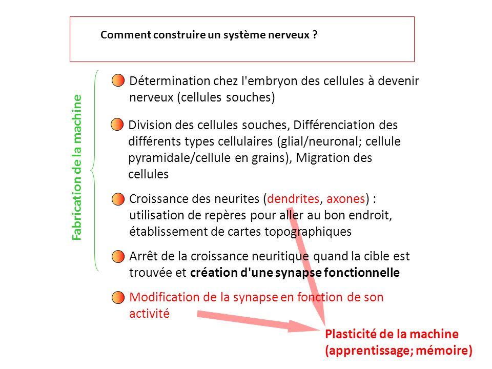 Détermination chez l'embryon des cellules à devenir nerveux (cellules souches) Division des cellules souches, Différenciation des différents types cel