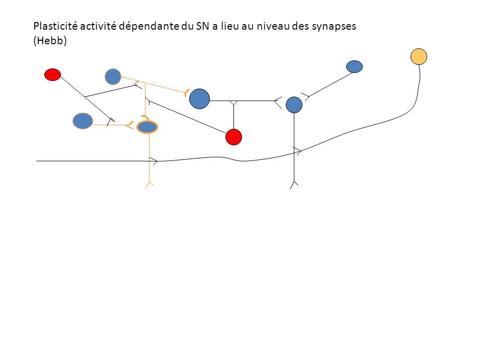Plasticité activité dépendante du SN a lieu au niveau des synapses (Hebb)