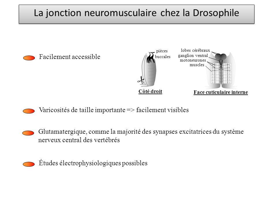 Facilement accessible Varicosités de taille importante => facilement visibles pièces buccales lobes cérébraux ganglion ventral motoneurones muscles Fa