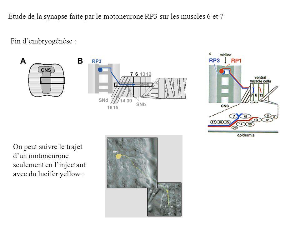 Etude de la synapse faite par le motoneurone RP3 sur les muscles 6 et 7 Fin dembryogénèse : On peut suivre le trajet dun motoneurone seulement en linj