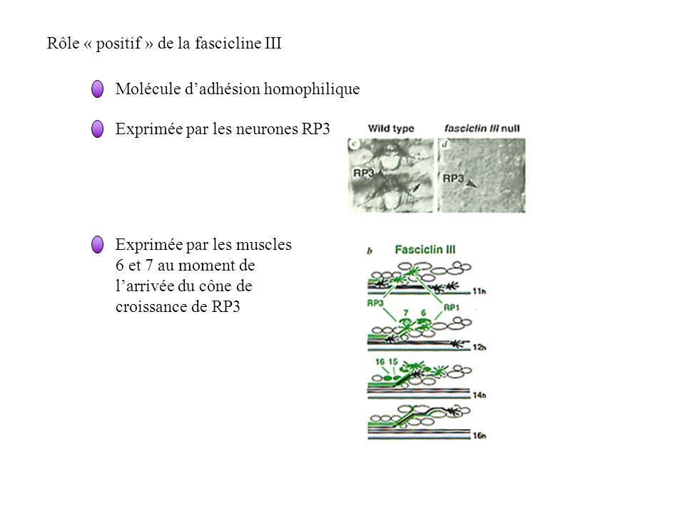 Rôle « positif » de la fascicline III Molécule dadhésion homophilique Exprimée par les neurones RP3 Exprimée par les muscles 6 et 7 au moment de larri