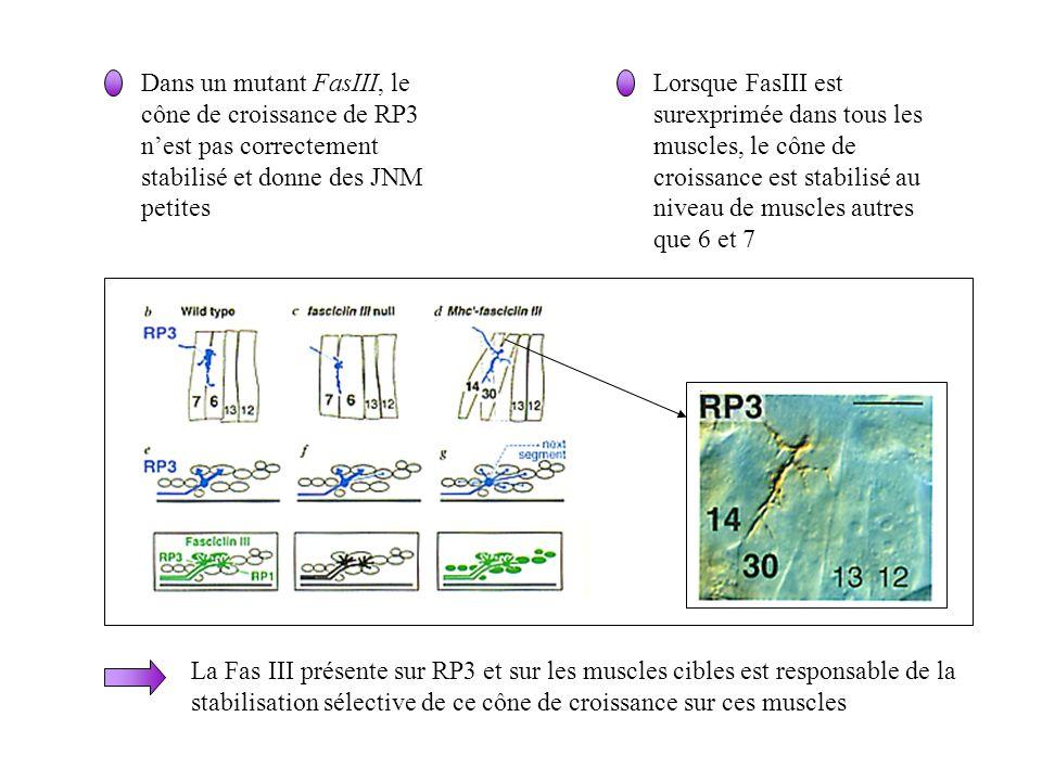 Dans un mutant FasIII, le cône de croissance de RP3 nest pas correctement stabilisé et donne des JNM petites Lorsque FasIII est surexprimée dans tous