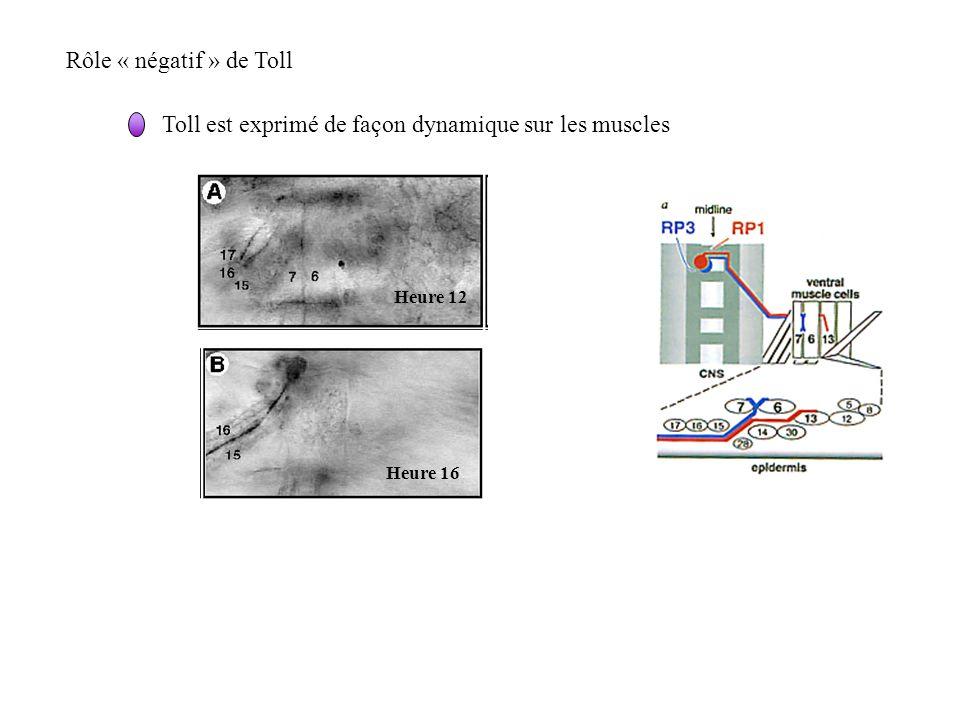 Rôle « négatif » de Toll Toll est exprimé de façon dynamique sur les muscles Heure 12 Heure 16