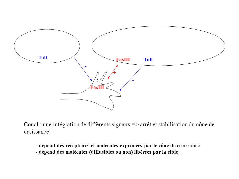 FasIII + Toll - - Concl : une intégration de différents signaux => arrêt et stabilisation du cône de croissance - dépend des récepteurs et molécules e