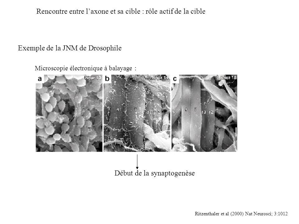 Rencontre entre laxone et sa cible : rôle actif de la cible Exemple de la JNM de Drosophile Ritzenthaler et al (2000) Nat Neurosci; 3:1012 Début de la