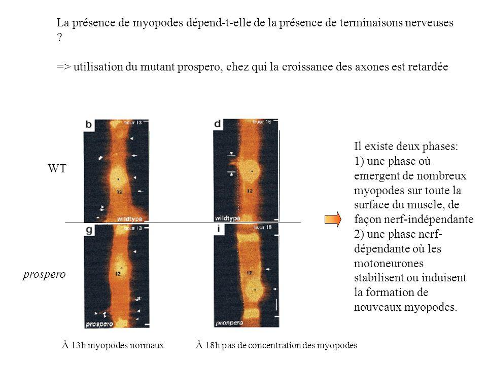 La présence de myopodes dépend-t-elle de la présence de terminaisons nerveuses ? => utilisation du mutant prospero, chez qui la croissance des axones