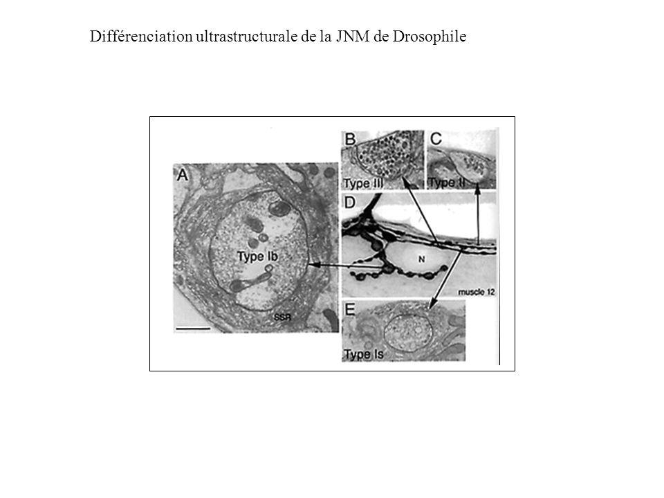 Différenciation ultrastructurale de la JNM de Drosophile
