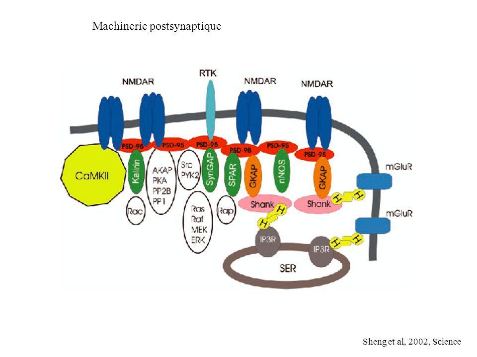 Machinerie postsynaptique Sheng et al, 2002, Science