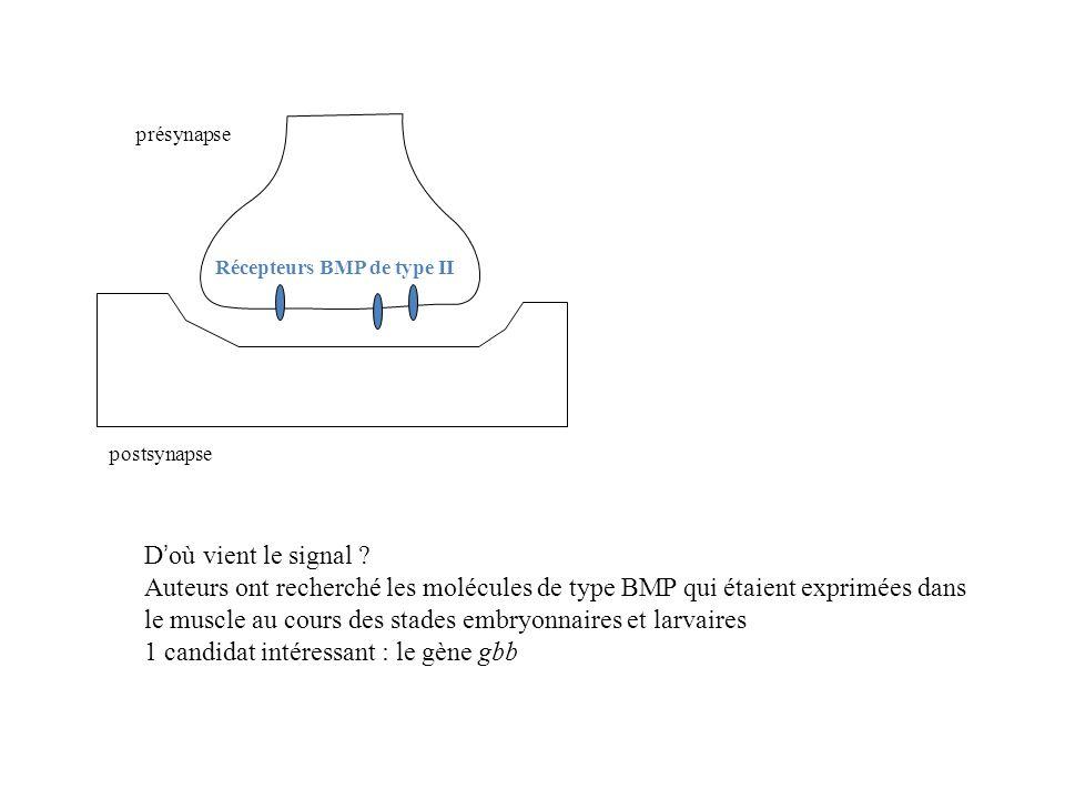 présynapse postsynapse Récepteurs BMP de type II D où vient le signal ? Auteurs ont recherché les molécules de type BMP qui étaient exprimées dans le