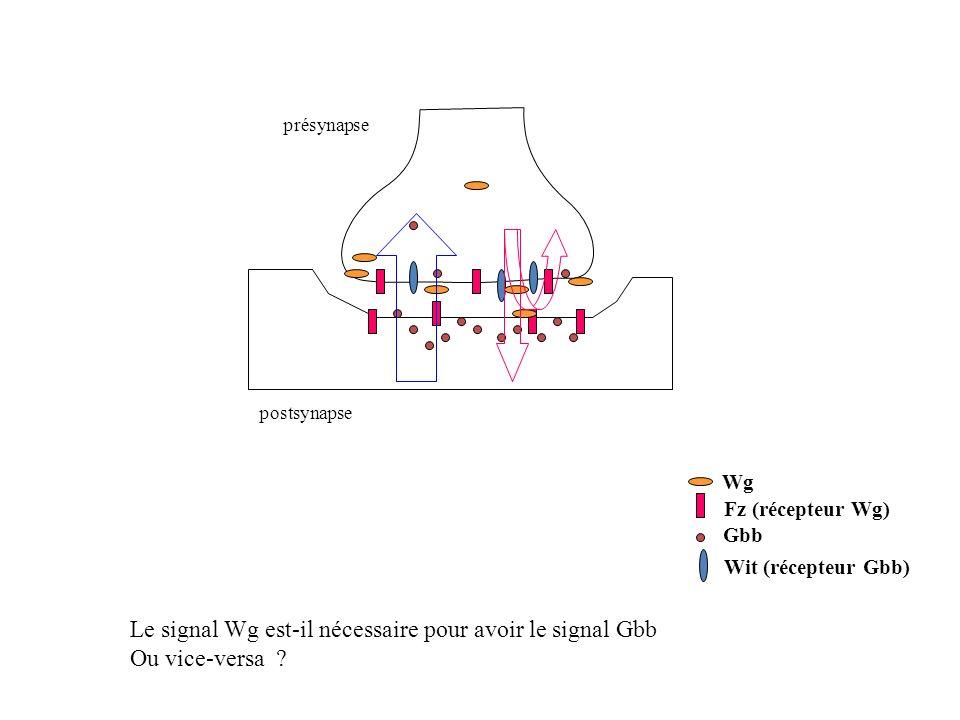 présynapse postsynapse Wg Fz (récepteur Wg) Wit (récepteur Gbb) Gbb Le signal Wg est-il nécessaire pour avoir le signal Gbb Ou vice-versa ?