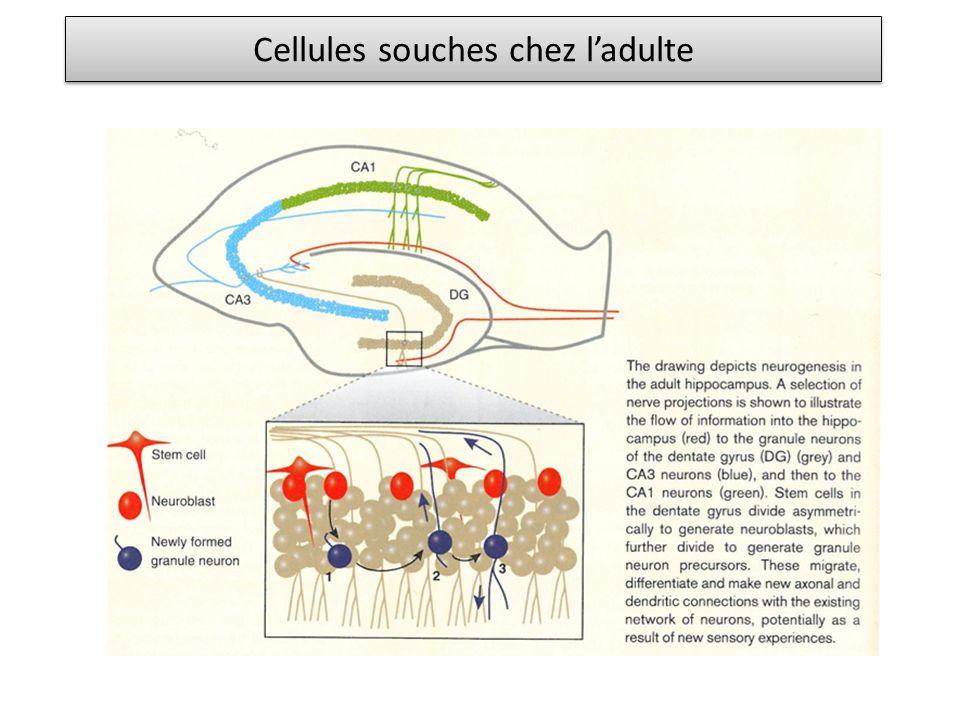 Cellules souches chez ladulte