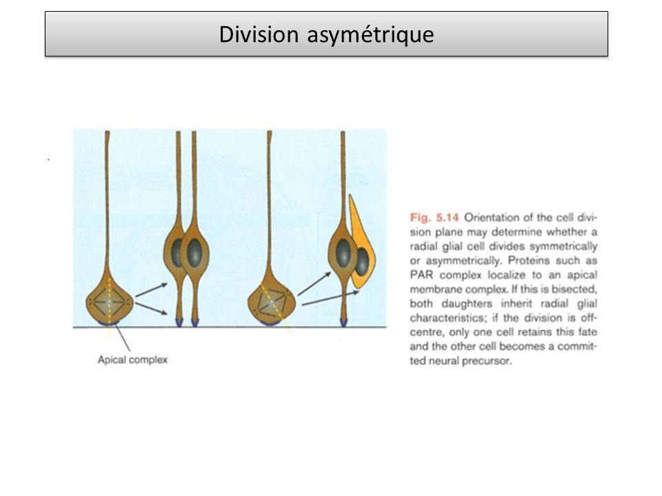 Médecine régénérative : cellules souches Cellules souches embryonnaires - à partir de embryon au stade préimplantatoire - restent non différenciées au cours des différents passages si cultivées correctement - expriment des marqueurs de non différentiation comme Nanog et Oct4 (facteurs de transcription) - sont multipotentes : peuvent donner types cellulaires des trois feuillets embryonnaires (endoderme, mesoderme, ectoderme) Cellules souches - non différenciées - peut donner des cellules différenciées