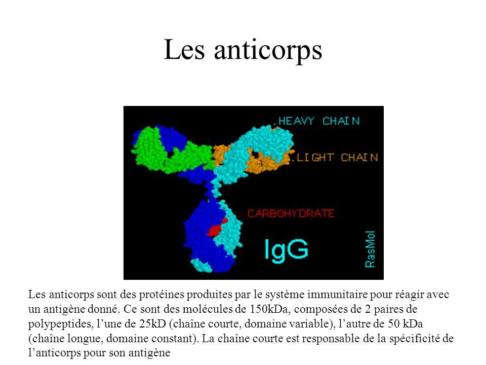 Les anticorps Les anticorps sont des protéines produites par le système immunitaire pour réagir avec un antigène donné. Ce sont des molécules de 150kD